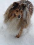 Chien Boléro Gold dans la neige - Berger des Shetland  (Vient de naître)