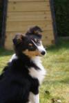 Chien Flash, Berger Shetland 5 mois - Berger des Shetland  (5 mois)