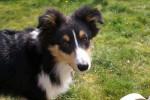 Chien Flash, Berger Shetland de  5 mois - Berger des Shetland  (5 mois)