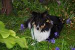Chien Megumi et les fleurs - Berger des Shetland Mâle (8 mois)