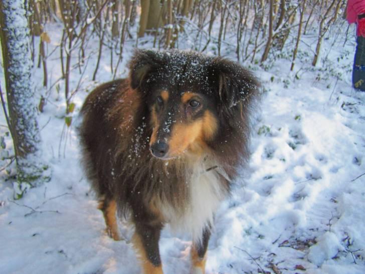 Viky (décèdé) - Berger des Shetland (14 ans)