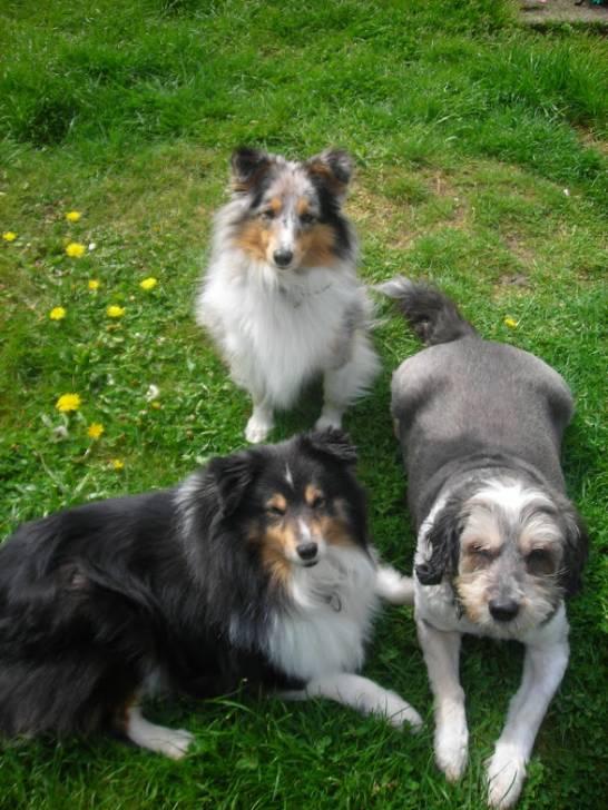 bandy daxon beauty - Berger des Shetland Mâle (15 ans)