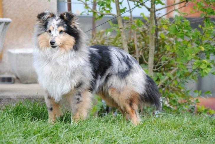 Koda - Berger des Shetland Mâle (8 mois)