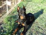 Turkan 14 mois - Beauceron (1 an et 2 mois)