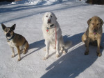 Missy and Friends - Chien de Montagne des Pyrénées (3 ans)