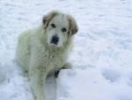 chien de montagne des pyrenees - Chien de Montagne des Pyrénées