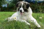 Chien Echo photo de Montagne des Pyrénées de 2 ans - Chien de Montagne des Pyrénées Femelle (2 ans)