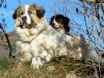 Echo 4 ans et Ginger 2 ans - Chien de Montagne des Pyrénées (4 ans)