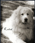 Chien Kodiak - Chien de Montagne des Pyrénées Mâle (3 ans)