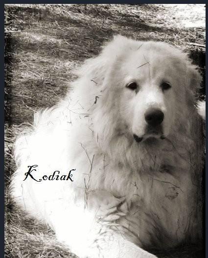 Kodiak - Chien de Montagne des Pyrénées Mâle (3 ans)