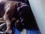 Spike - Chien de Rouge de Bavière Mâle (3 ans)