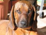 Curro - Chien de Rouge de Bavière Mâle (2 ans)