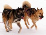 chien du Groenland - Raska et Vaigat - Chien du Groenland