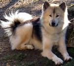 chien du groenland whaza - Chien du Groenland