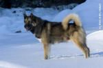 chien du Groenland - Raska - Chien du Groenland