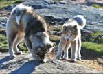 Photo Chien du Groenland