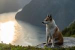 Photo Chien norvégien de Macareux