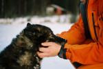 Photo Chien suédois de Laponie