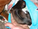 Thaï Ridgeback Dog - Chien thaïlandais à crête dorsale