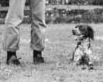 Chien Charlie - Epagneul Breton Femelle (Vient de naître)