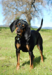 Photo Coonhound noir et feu