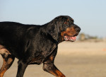 Photo Coonhound noir et feu