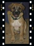 Dogo Canario CYTO - Dogue des Canaries