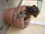 DOGO CANARIO BAMBOU ( BAY)3 mois - Dogue des Canaries
