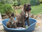 dogo canario do-san 10 mois et bambou 2 mois - Dogue des Canaries (10 mois)