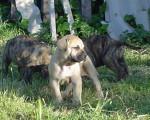 dogo-canario baby family - Dogue des Canaries