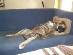DOGO CANARIO BAMBOU ( BAY)3 mois /siesta - Dogue des Canaries