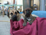 dogo canario// duffy et bambou - Dogue des Canaries