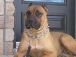 BELLA -DOGO CANARIO - Dogue des Canaries
