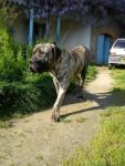 Hunter, dogo canario - Dogue des Canaries