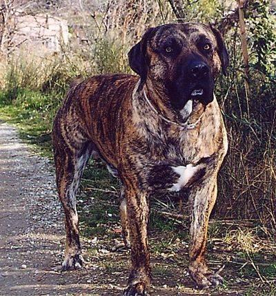 Dogo Canario - Dogue des Canaries