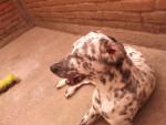 Chien PECAS - Dalmatien Mâle (1 an)