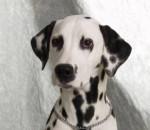Lolita - Dalmatien (3 mois)