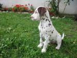 Sindy - Dalmatien (7 mois)