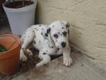 Prunelle - Dalmatien (5 mois)
