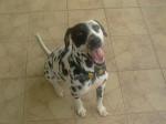 Chien Frosty, jeune Dalmatienne de 15 mois - Dalmatien  (1 an et 3 mois)