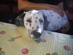 Chien Dolie - Dalmatien Femelle (3 ans)