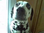 Sally - Dalmatien (7 mois)
