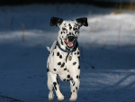 roxy - Dalmatien (1 mois)