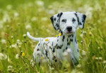 Un Dalmatien dans un champ de fleurs