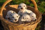 1-cookie2-sara3-lili4-joe5-moka - Dalmatien (2 mois)