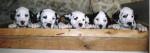 chiots d'Aglaée - Dalmatien Mâle (3 mois)
