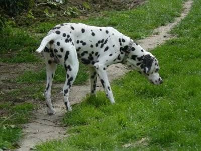 Scooby - Dalmatien Mâle (1 an)