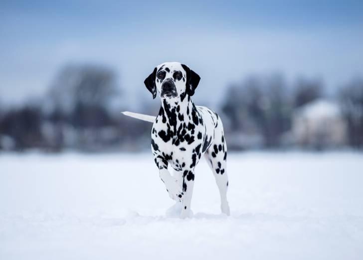 Un Dalmatien debout dans un champ de neige