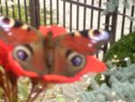 Chien papillon - Epagneul nain Papillon  (Vient de naître)