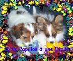Chien Phalene Papillon D UN PAPILLON A UNE ETOILE - Epagneul nain Papillon  (0 mois)